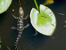Alligator mississippiensis dell'alligatore americano Fotografia Stock