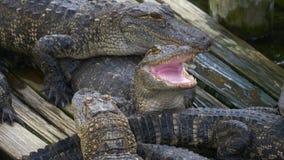 Alligator mit dem Mund offen stock video