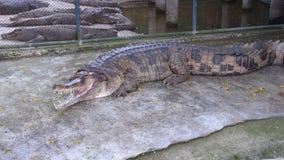 Alligator mit einem offenen Mund liegt aus den Grund im Zoo thailand asien stock footage