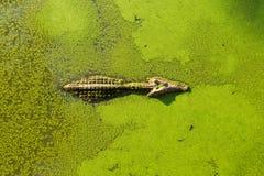 Alligator in moeraslandvijver die met eendekroos en het zwemmen wordt behandeld royalty-vrije stock afbeelding