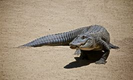 Alligator. Moorpark College learning zoo alligator Happy on dirt royalty free stock image