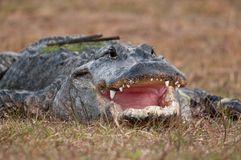 Alligator mouth Royalty Free Stock Images