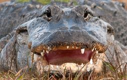Alligator Mouth Stock Photography