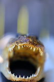 Alligator Mouth Stock Photo