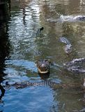 Alligator with mouth open. Showing teeth Royalty Free Stock Images