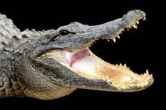 Alligator with Mouth Open Royalty Free Stock Images