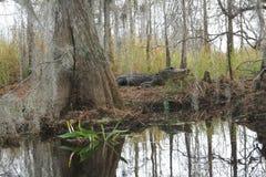 Alligator in Natural Habitat - Okefenokee Swamp Royalty Free Stock Image