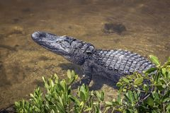 Alligator Near Shore - Sanibel Island, FLorida. An alligator waits motionless on the edge of a Florida Pond in Ding Darling National Wildlife Refuge on Sanibel stock photography
