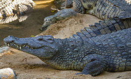Alligator near water Stock Photography