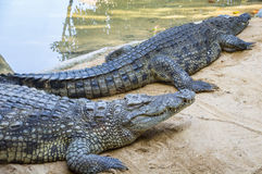 Alligator near water Royalty Free Stock Photo