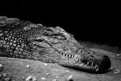 Alligator noir et blanc Images stock