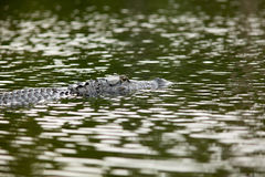 Alligator at Okefenokee National Wildlife Refuge. Alligator in water at Okefenokee National Wildlife Refuge, Georgia, USA Stock Photos