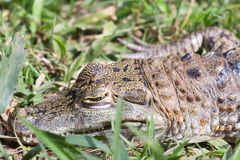 Alligator op gras Royalty-vrije Stock Foto