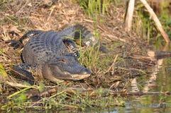 Alligator op moerasbank Stock Afbeeldingen