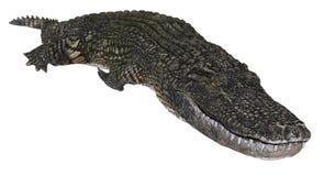 Alligator op witte 3d illustratie wordt geïsoleerd die als achtergrond royalty-vrije illustratie