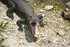 Alligator with open mouth. Florida alligator with open mouth in everglades Royalty Free Stock Image