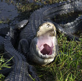 Alligator With Open Mouth. Closeup Shot Stock Images