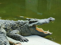 Alligator. The alligator with open mouth Stock Images