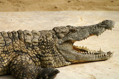 Alligator with open mouth. Alligator in the rivers of Africa Stock Images