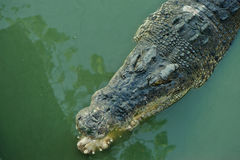 Alligator with open mouth. Crocodile.animal Royalty Free Stock Photo