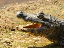 Alligator with open mouth. Deitailed profile view Royalty Free Stock Image