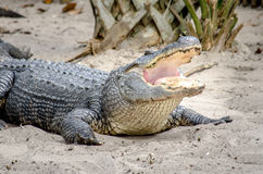 Alligator with open mouth. Alligator with open, gaping mouth Stock Photo