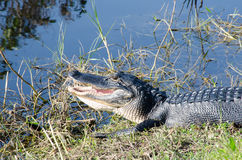 An alligator with Open Mouth Royalty Free Stock Photos