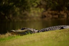Alligator out of water in the sun. Spying on alligator out of water and laying in the sunshine. Keeping proper distance to stay out of danger Royalty Free Stock Image