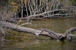 Alligator på det inloggningsFlorida träsket Royaltyfri Fotografi