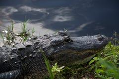 Alligator på evergladesna, Florida, USA Arkivbild