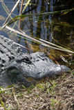 Alligator på evergladesna, Florida, USA Royaltyfri Bild