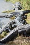 Alligator på evergladesna, Florida, USA Arkivfoto