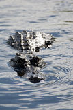 Alligator på evergladesna, Florida, USA Royaltyfri Foto