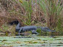Alligator på kusten Royaltyfri Foto