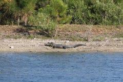 Alligator på kusten av Florida en sjö Arkivfoto