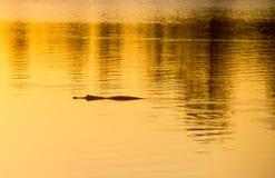 Alligator på solnedgången Arkivbild