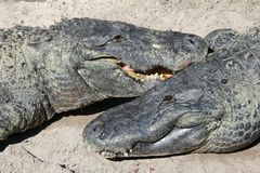 Alligator Pair Royalty Free Stock Photos