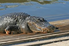 Alligator in a park Royalty Free Stock Photos