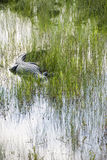 Alligator Patiently Stalks in the Swamp Royalty Free Stock Image