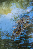 Alligator personality. This alligator is swimmimg toward you Stock Images