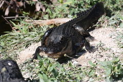 Alligator Stock Photography