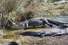 Alligator Royalty Free Stock Photos