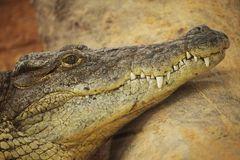 Alligator. Picture of the head of an dangerous alligator Royalty Free Stock Images
