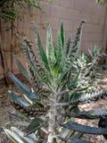 Alligator Plants Bryophyllum daigremontianum Royalty Free Stock Photos