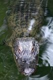Alligator Poking head out of the water to get some sun. In a park pond in Lafayette Louisiana. Full Body shot Royalty Free Stock Image