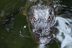 Alligator Poking head out of the water to get some sun. royalty free stock image