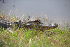 Alligator by the pond Stock Photo