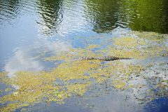 Alligator in pond Royalty Free Stock Photos