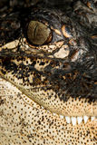 Alligator Portrait #2 Royalty Free Stock Photos