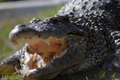 Alligator portrait. Alligator warming up beside the water Stock Image